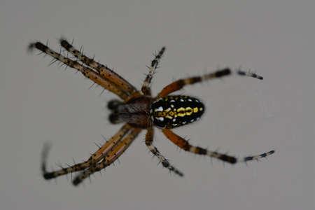 araneae: Argiope spider
