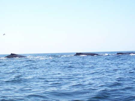 megaptera novaeangliae: Humpback whale Megaptera novaeangliae