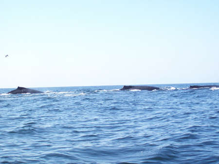 humpback whale: Humpback whale Megaptera novaeangliae