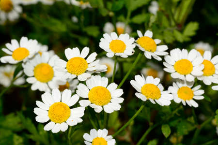 chamomile flower: Chamomile or camomile flowers