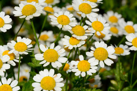 muscle spasm: Chamomile or camomile flowers