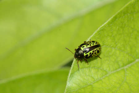 coleopter: Green and black colorful beetle on leaves