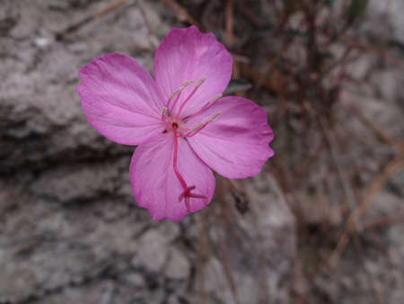 photosynthetic: Pink wild flower