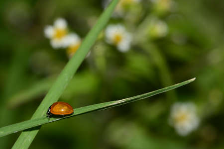 lady beetle: Ladybug on grass leave, floral background, lady beetle, ladybird