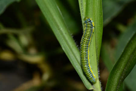 pieris: Small cabbage white butterfly caterpillar Pieris rapae Stock Photo