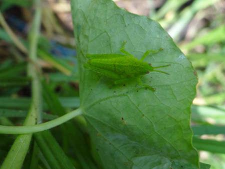 entomological: Grasshopper on a plant