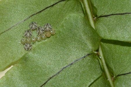 pentatomidae: Stink bugs, Pentatomidae, hatching from eggs under fern leaves