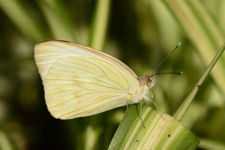 pieris: Cabbage white butterfly Pieris