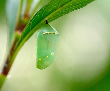 Monarch butterfly (Danaus plexippus) chrysalis, beautiful cocoon Stock Photo