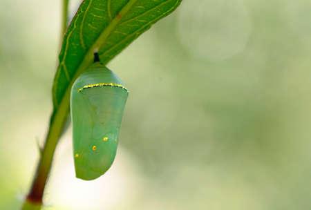 Monarchvlinder (Danaus plexippus) Chrysalis, mooie cocon Stockfoto