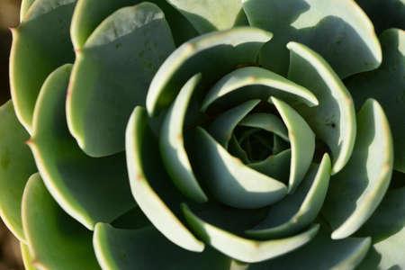 tracheophyta: Crassulaceae succulent plant rosette Stock Photo