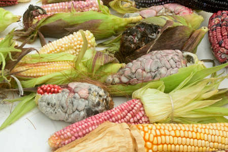 Mexican corn diversity and huitlacoche