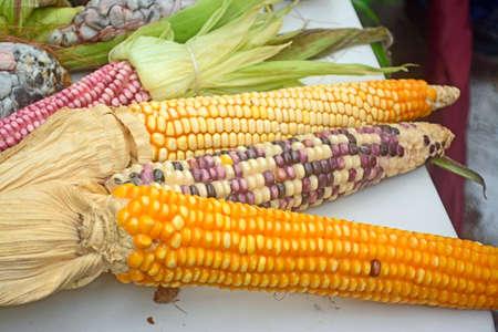 Mexican corn diversity and hybrid corn Stock Photo