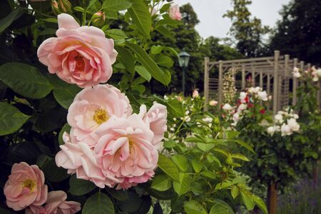 tenderness: Beautiful bush of pink roses in the garden in Baden. Blooming shrub in rosary. Summer in Austria, Europe. Tenderness. Romance.