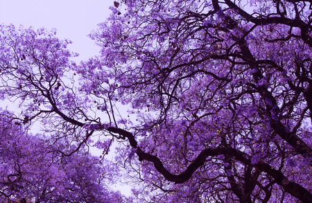 Belle rami in fiore viola di Jacaranda. Brooklyn. Pretoria. Primavera in Sud Africa. ritocco artistico.