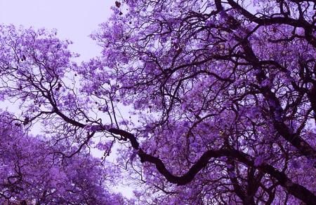 en flor violeta hermosas ramas de Jacaranda. Brooklyn. Pretoria. Primavera en Sudáfrica. retoque artístico.