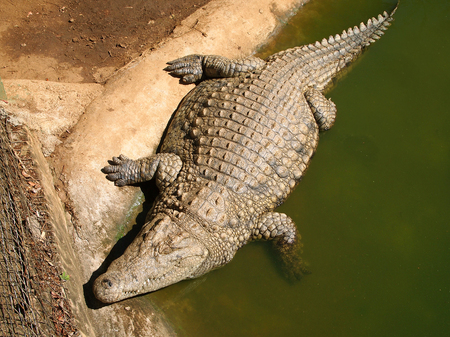 Nile crocodile is lying in the swamp. Safari. Wild animal. Kwazulu-Natal, South Africa.