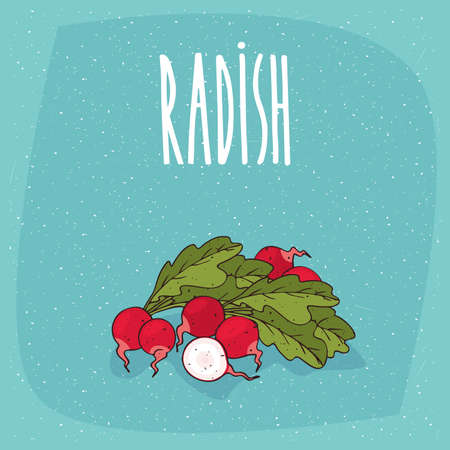 Ripe root vegetables radishes with small leaves, whole and beautifully cut into pieces. Visible flesh. Isolated background. Realistic hand draw style. Lettering Radish