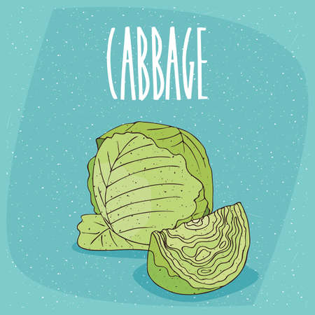One huge whole ripe green cabbage vegetable, near beautifully cut piece. Visible pulp. Isolated background. Realistic hand draw style. Lettering inscription Cabbage