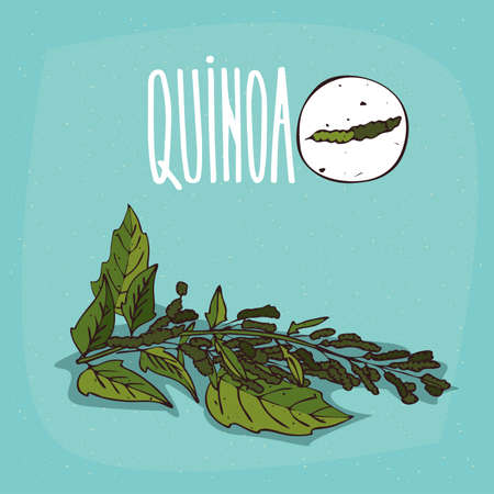 Set of isolated plant Quinoa leaves herb with seeds, Simple round icon of Quinoa on white background, Lettering inscription Quinoa