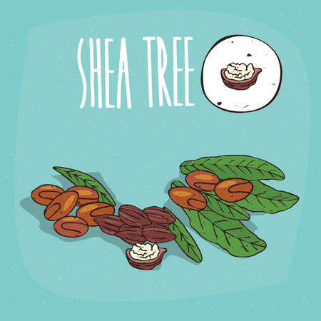 Set of isolated plant Shea tree nuts herb with leaves, Simple round icon of Vitellaria paradoxa on white background, Lettering inscription Shea tree