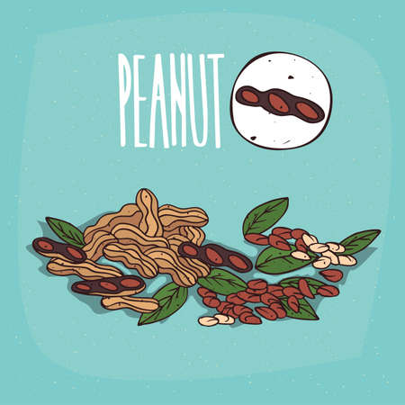 Set of isolated plant Peanut nuts herb with leaves, Simple round icon of Peanuts on white background, Lettering inscription Peanut Illustration