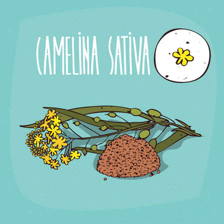 Set of isolated plant Camelina sativa flowers herb with leaves, seeds, Simple round icon of False flax on white background, Lettering inscription Camelina sativa Illustration