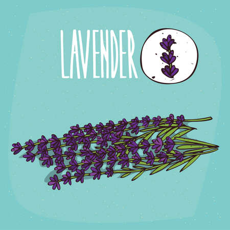Set of isolated plant Lavender flowers herb with leaves, Simple round icon of Lavandula on white background, Lettering inscription Lavender