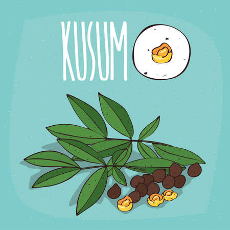 Set of isolated plant Kusum seeds herb with leaves, Simple round icon of Schleichera oleosa on white background, Lettering inscription Kusum
