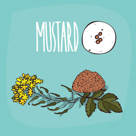 Set of isolated plant Mustard seeds herb with flowers, leaves, Simple round icon of Mustard on white background, Lettering inscription Mustard