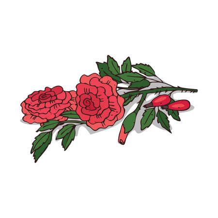 Isolated clipart of plant Rose on white background. Botanical drawing of herb Rosaceae with flowers and leaves