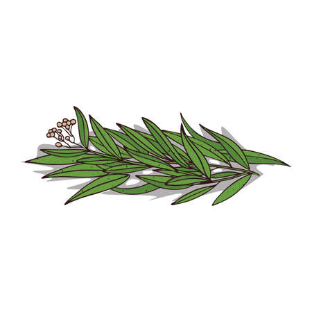 Isolated clipart of plant Eucalyptus on white background. Botanical drawing of herb Eucalyptus with leaves and flowers