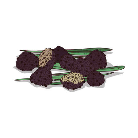 Isolated clipart Truffle