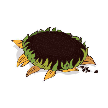 Isolate sunflower or helianthus on white background. Close up clipart with shadow in flat realistic cartoon style. Hand drawn icon