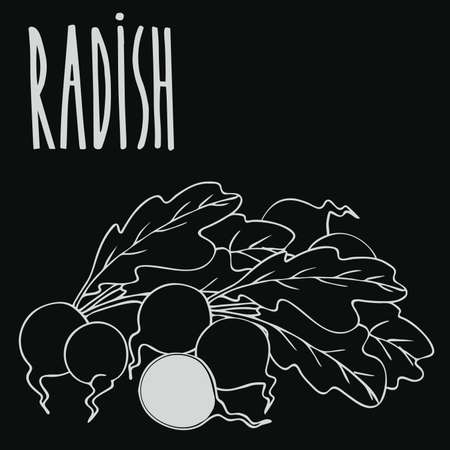 Isolate ripe radish root vegetable as chalk on blackboard. Close up clipart in chalkboard style. Hand drawn icon