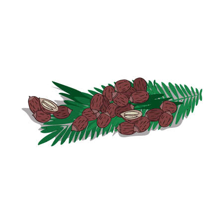 Isolated clipart of plant Babassu on white background. Botanical drawing of herb Attalea speciosa with seeds and leaves