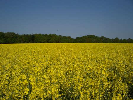 feld: Rapsfeld unter blauem Himmel Stock Photo