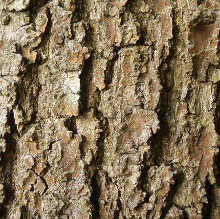pflanze: Eichenborke Stock Photo