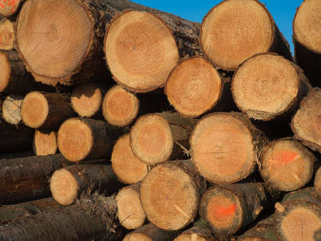 woodcutting: stacked sawed pine logs in a pile