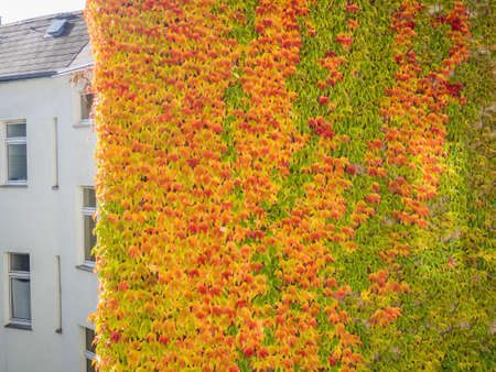 liana: Wall of a house covered with autumn colorful foliage of liana
