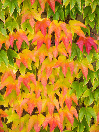 Beautiful autumn nature background. Wall overgrown with green red ivy leaves. Stock Photo