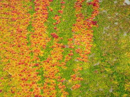 Autumn Leaves and Fall Colors. Climbing plant on the wall. Red and green leaves in autumn season. Stock Photo