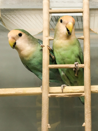 Pair of Peach-faced Lovebirds (Agapornis roseicollis motley clarified blue and blue morphs) in a cage on the stairs
