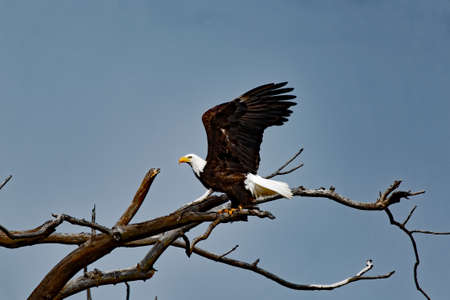 take off: A Bald Eagle prepares to take off from its perch.
