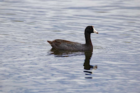 American Coot Reflecting Stock Photo