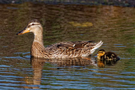 Mallard Duck and Duckling Swimming Stock Photo