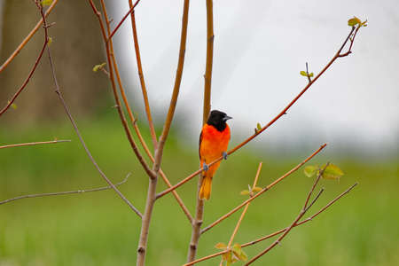 A Baltimore Oriole perches in a bush. These beautiful songbirds can be found in Iowa during the summer. Stock Photo