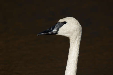 cygnus buccinator: A closeup of a Trumpeter Swan. These large birds have been making a comeback in Iowa in recent years.