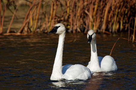 A pair of Trumpeter Swans glide through the water