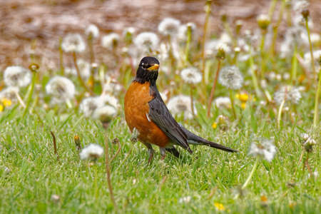 throughout: An American Robin stands in the dandelions. These red-breasted grey birds can be found throughout Iowa year-round.